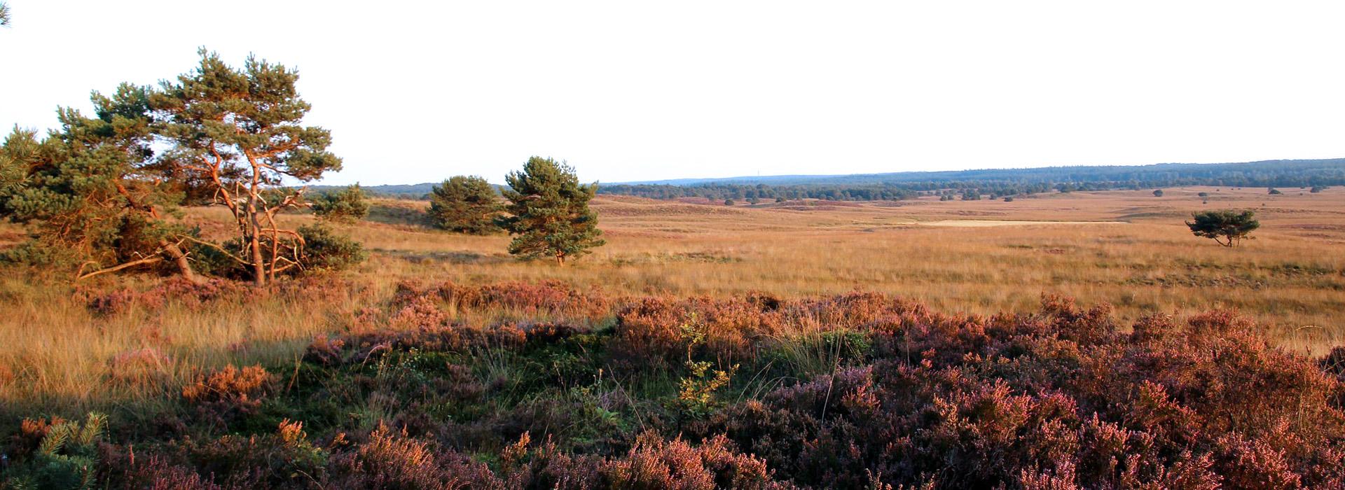 heather near Arnhem