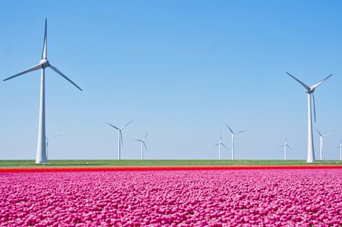 windmills and tulip fields