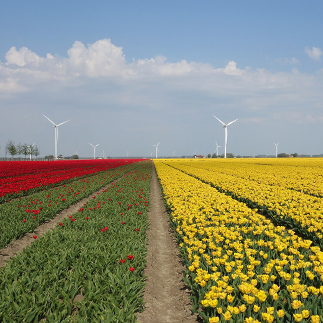 colored tulip fields with wind mills in background